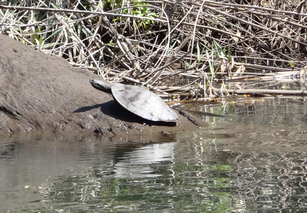 Turray River Turtle